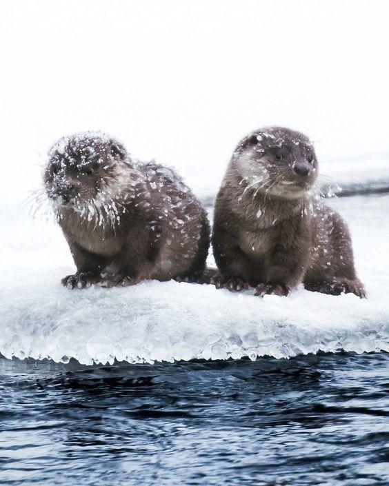 Когда приехали на море... На белое море Фотография, Выдра, Снег, Лёд, Вода, Животные, Калан