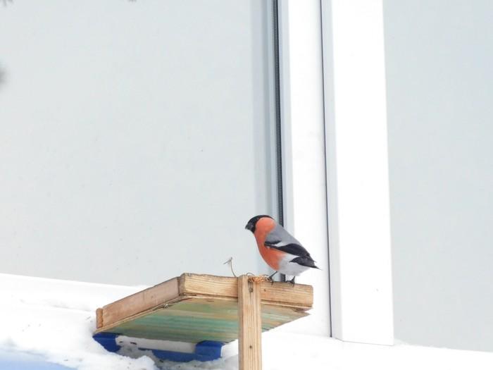 Angry birds по-Красноярски Птицы, Красноярский край, Дятел, Снегири, Поползень, Длиннопост, Свиристель