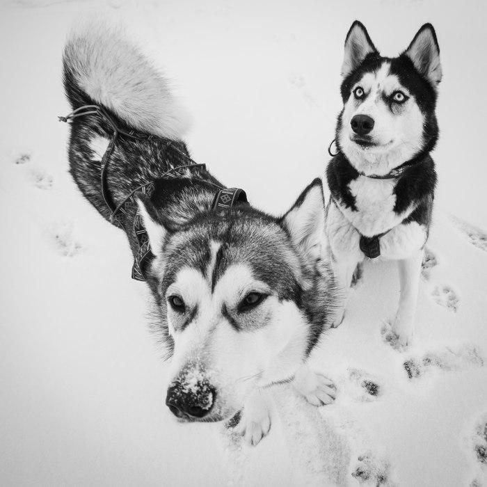Мои собакены Хаски, Аляскинский маламут, Собака