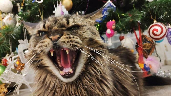 Ёлка моя!!! Кот, Мейн-Кун, Лео друг Венсана, Лео, Суровый, Ёлка, Новый Год
