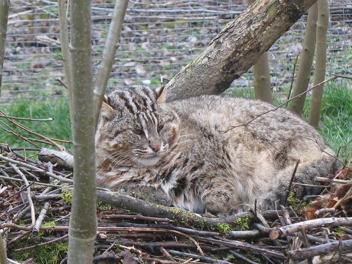 В Приморье выходили дикого кота, подкинутого браконьерами Кот, Спасение, Длиннопост, Видео