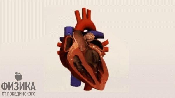 Как убивает ток? Сердце, Физика, Ток, Наука, Медицина, Человек, Гифка