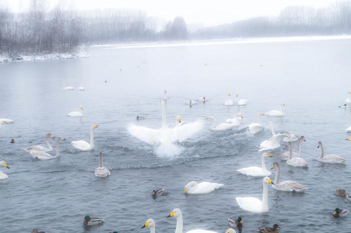 Лебединое озеро Отпуск, Лебеди, Алтай