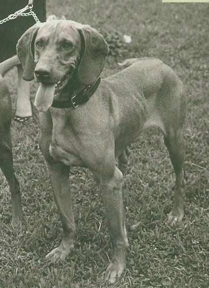 О породах собак №79. Венгерская выжла. Собака, Породы собак, Выжла, Венгерская выжла, Венгерская легавая, Длиннопост