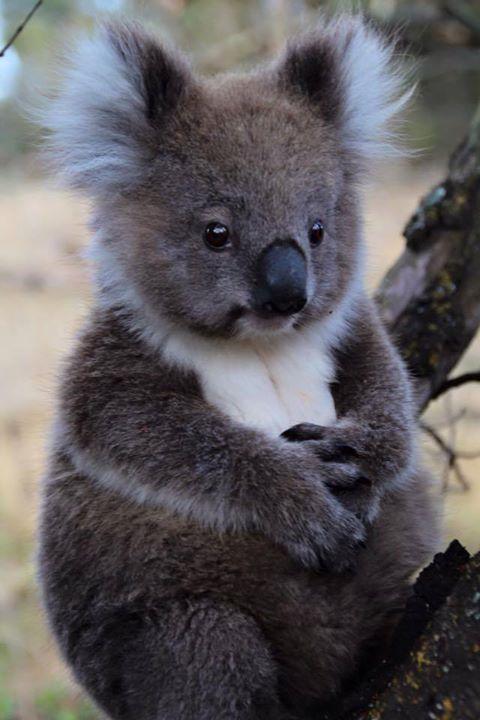 Задумчивая коала