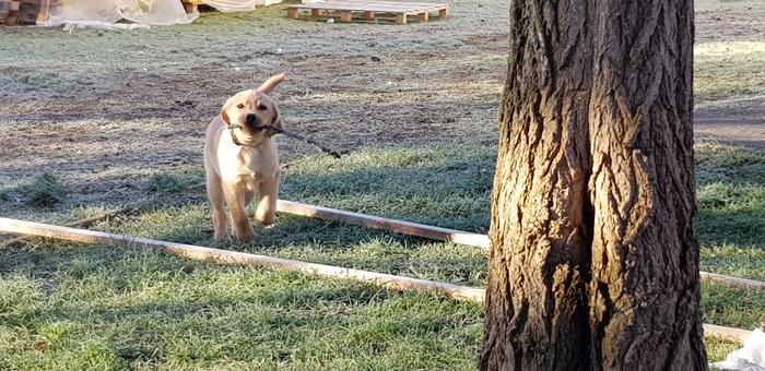 Немного весёлой рожденственской собаки Обеликс лабрадор, Лабрадор, Щенки, Собака, Длиннопост