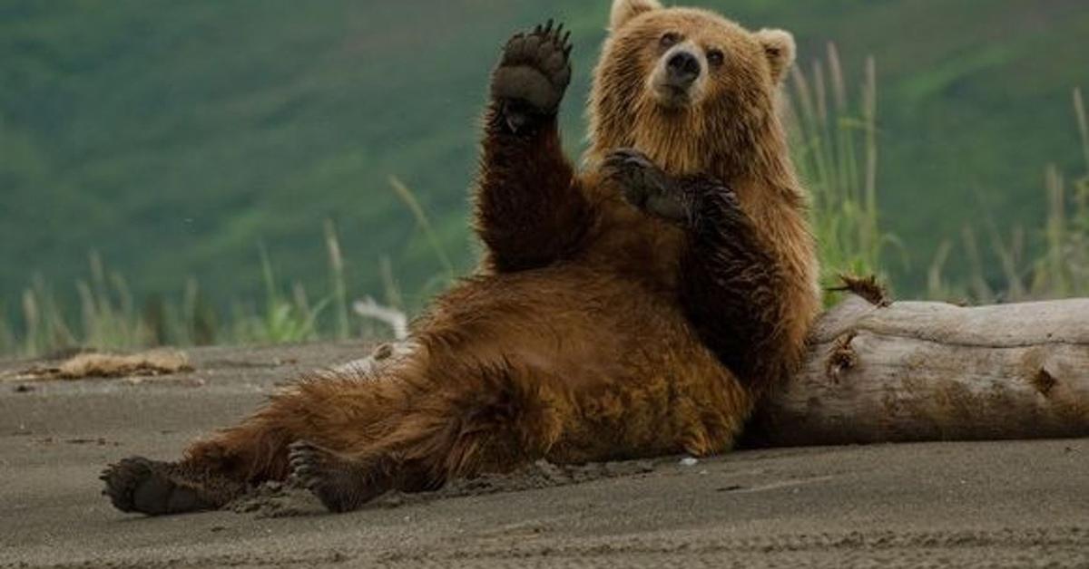 фото смешного медведя можно применять слайд