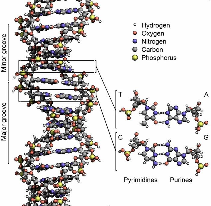 Модель ДНК, вопрос знатокам. ДНК, 3D моделирование, Длиннопост