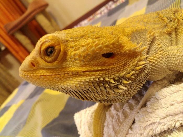 Агам смотрит на тебя как на обед Рептилии дома, Ящерица, Бородатая агама, Фотография