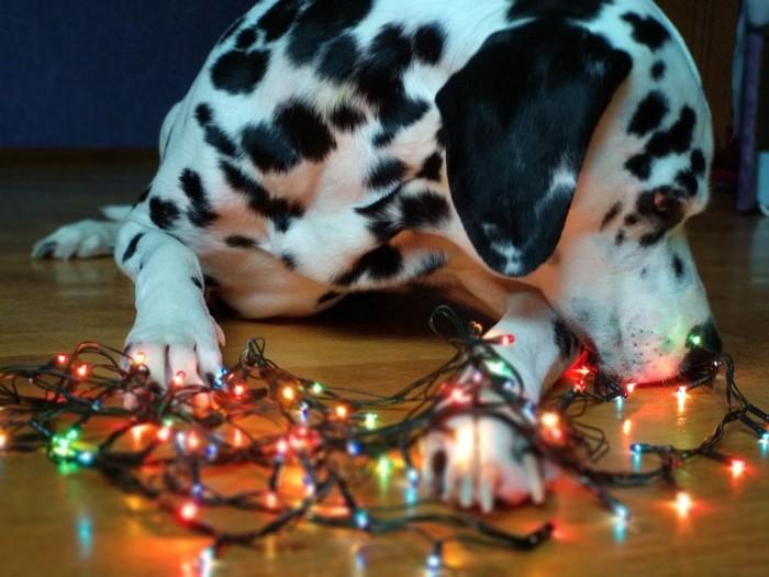 Рождественский песель Далматин, 101 далматинец, Песель мой, Собака, Рождество, Гирлянда, Гирлянды рулят, Новый Год, Длиннопост