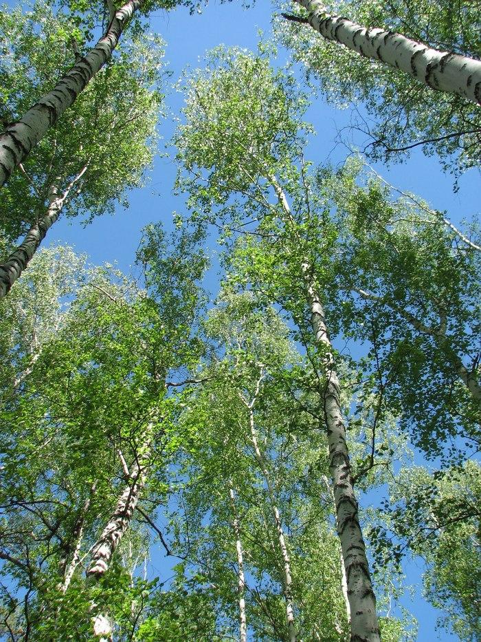 Сибирские берёзы Сибирь, Березы, Лес, Начинающий фотограф, Canon