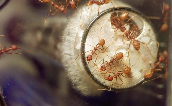 Муравьи-портные. Текущее положение дел и повседневные муравьиные чудачества Длиннопост, Муравьи, Насекомые, Формикарий, Мирмикипер, Фотография, Видео, Гифка