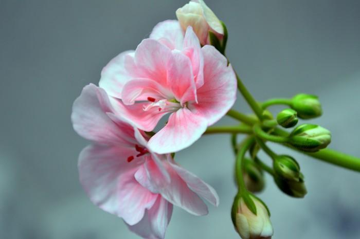 """""""Бабушкин"""" цветок - Герань. Цветы, Фотография, Герань, Красота, Длиннопост"""