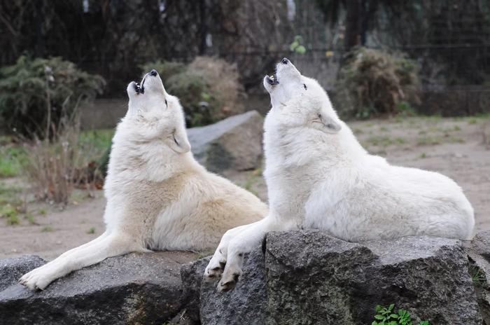 Дуэт Волк, Мелвильский волк