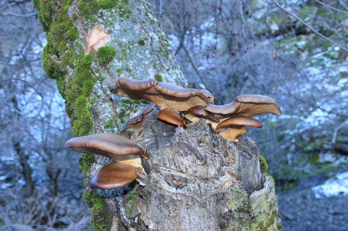 Январь. Первый урожай грибов вешенок Грибы, Мох, Дерево, Таджикистан