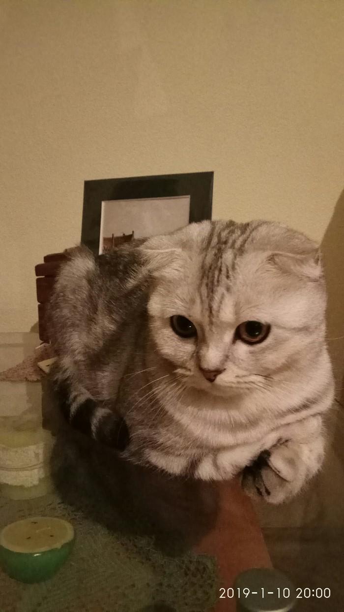 Кошечка на стеклянном столике. Кот, Шотландская вислоухая, Длиннопост