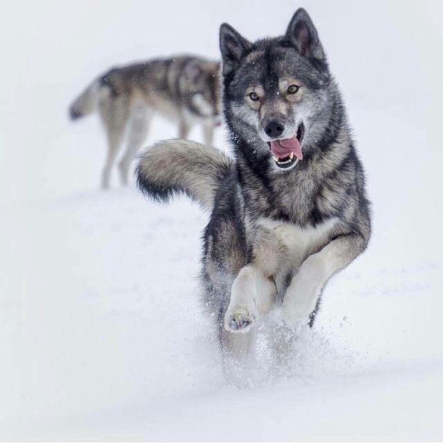 Я шерстяной волчара!!