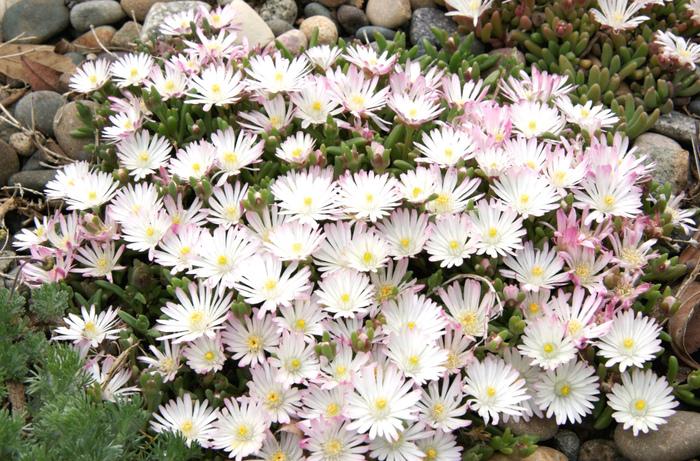 Лучшее растение для альпийской горки Делосперма, Неприхотливые, Альпийская горка, Цветение, Длиннопост