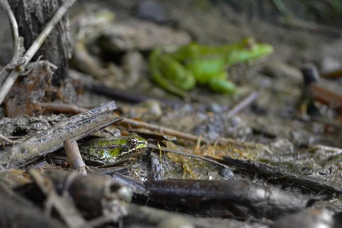 Чем меньше ты, тем проще спрятаться Земноводные, Лига фотографов, Лягушки, Природа, Nikon d3100, Фотография