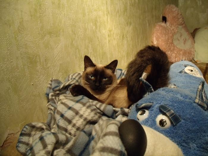 Ракурс решает Кот, Тайская кошка, Хвост