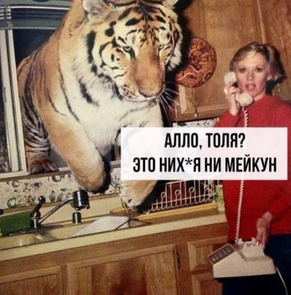 Когда обманули в зоомагазине Зоомагазин, Тигр, Кот, Мейн-Кун, Прикол, Картинка с текстом
