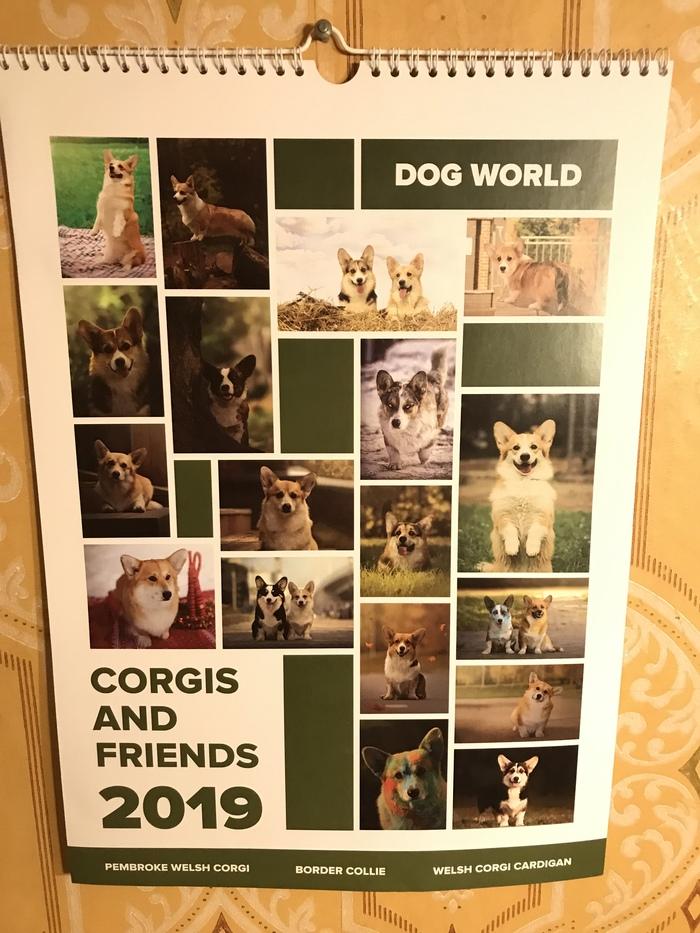 Подарили календарь на работе Календарь, Вельш-Корги пемброк, Собака, Радость, Милота