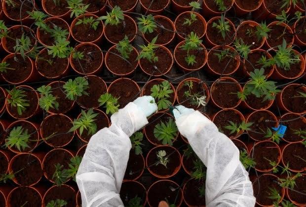 Что будет с нашей планетой если легализуют марихуану узбекская конопля