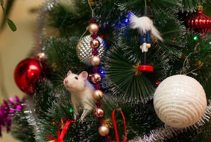 Ответ котолампам - крысоелка! Крыса, Декоративные крысы, Старый новый год