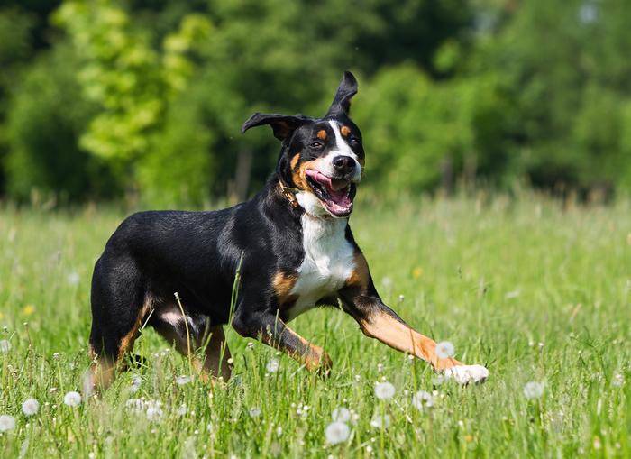 Счастье Собака, Животные, Фотография, Собачьи будни, Зенненхунд