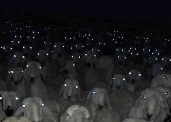 Все, кто предлагает посчитать овец перед сном... Картинки, Из сети, Овцы, Животные, Ночь, Крипота