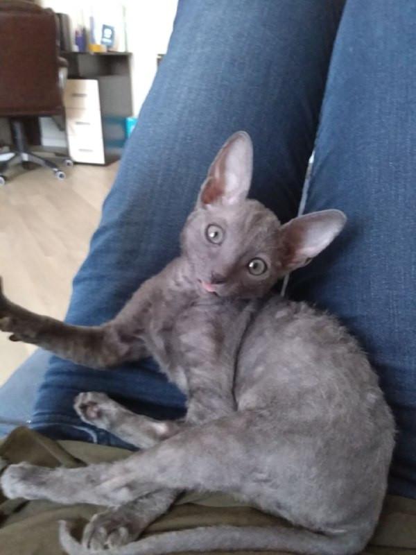 Привет! Это Зельда, мы вместе уже две недели. Кот, Котомафия, Котята, Корниш-Рекс, Длиннопост