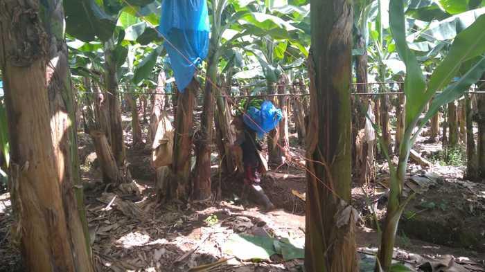 Путь банана от плантации до магазина Банан, Путь, Качество, Длиннопост