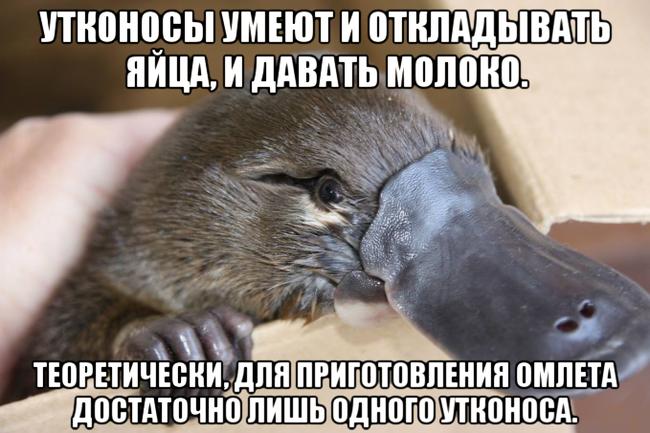 Утконос и интересный факт Утконос, Картинка с текстом, Факты, Юмор, Животные