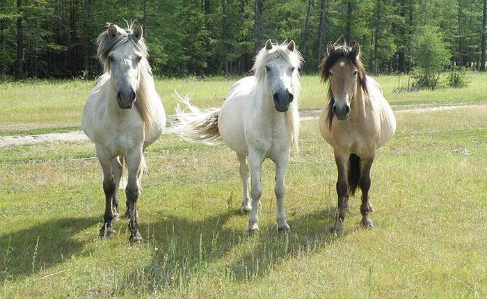 Лошади: дикие, домашние, одичавшие, свободные Копипаста, Познавательно, Интересное, Лошади, Одомашнивание, Зоология, Дикие лошади, Elementyru, Длиннопост
