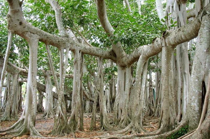 Великий баньян — лес из одного единственного дерева площадью 1,5 гектара Лес, Дерево, Великий баньян, Индия, Длиннопост
