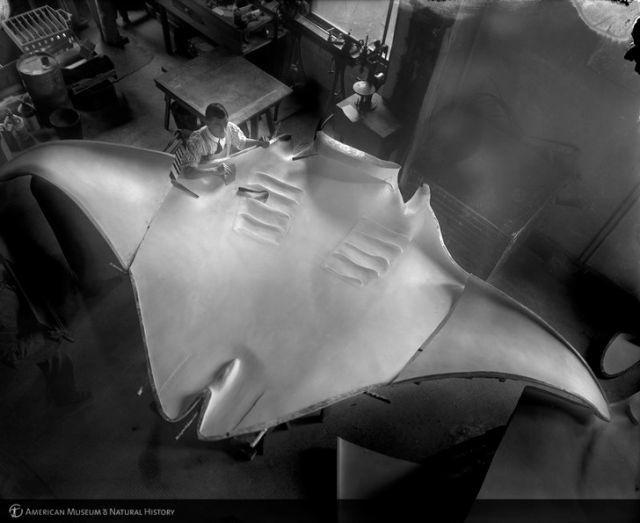 Огромный скат, пойманный капитаном Каном в 1933 году Скат, Макет, Риба, История, Длиннопост