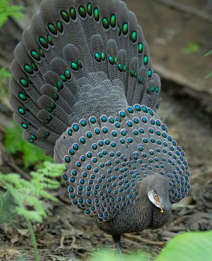 Серый павлиний фазан, Южный Юньнань, Китай