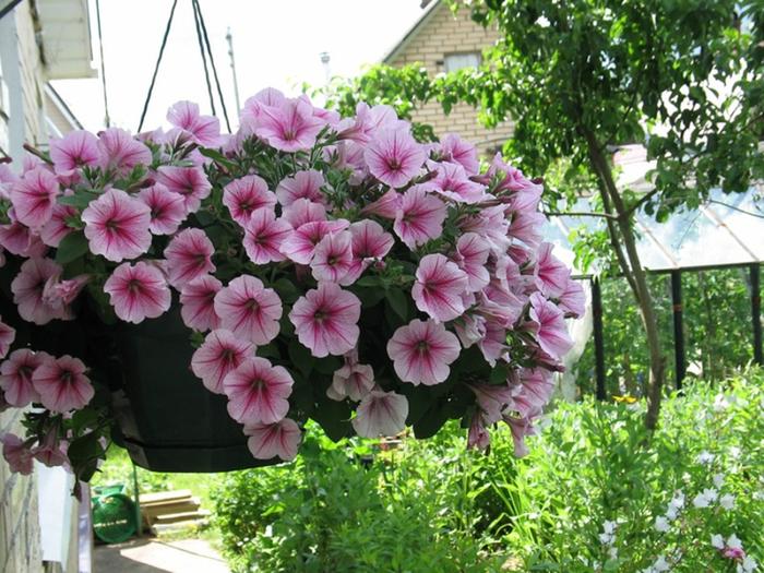 Пять секретов пышного цветения петунии на балконе Петуния, Выращивание, Цветение, Балконные, Длиннопост