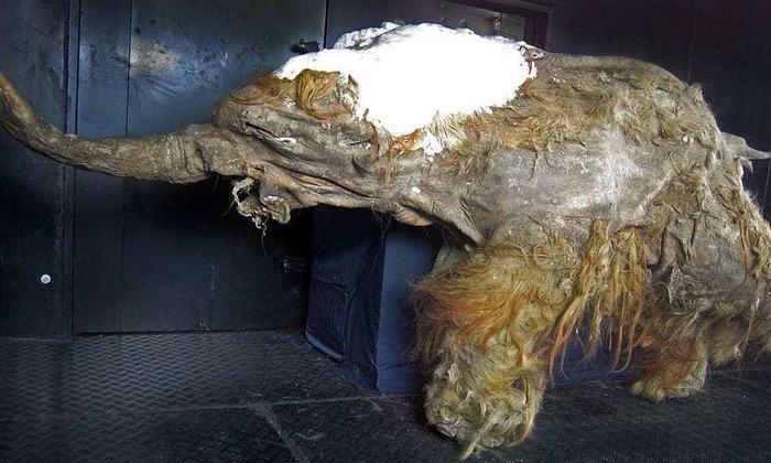 Самый сохранившийся мамонт в мире (возраст 39000 лет)
