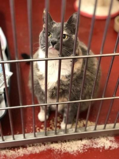 Самая толстая кошка Великобритании Кот, Лишний вес, Кость пушистая, Великобритания, Приют, Домашние животные, Котомафия
