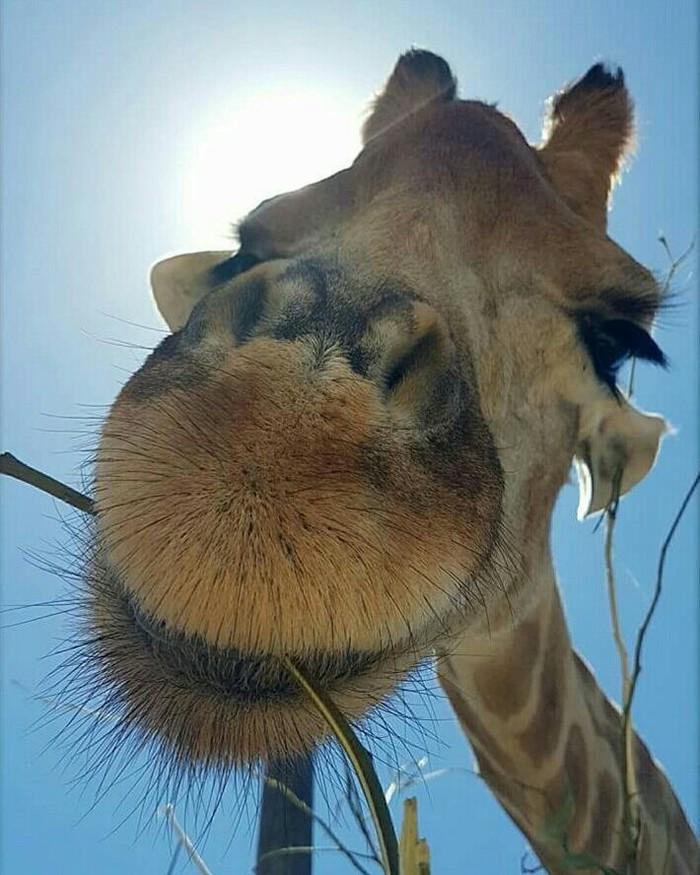 Жизнь прекрасна Фотография, Животные, Жираф, Милота