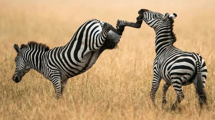 Зебра: Розовое молоко, странные гибриды и понты Ротшильдов Зебра, Лошадь, Животные, Дикие животные, Африка, Зоология, Природа, Книга животных, Длиннопост