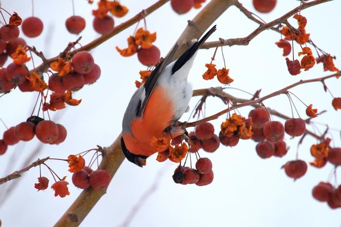 Зимняя столовая Снегири, Наблюдение за птицами, Зима, Птицы