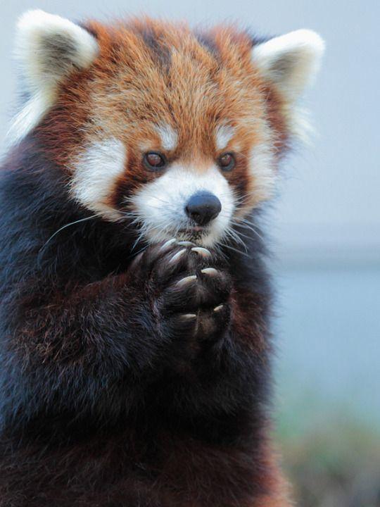 Красная панда у которой есть хитрый план