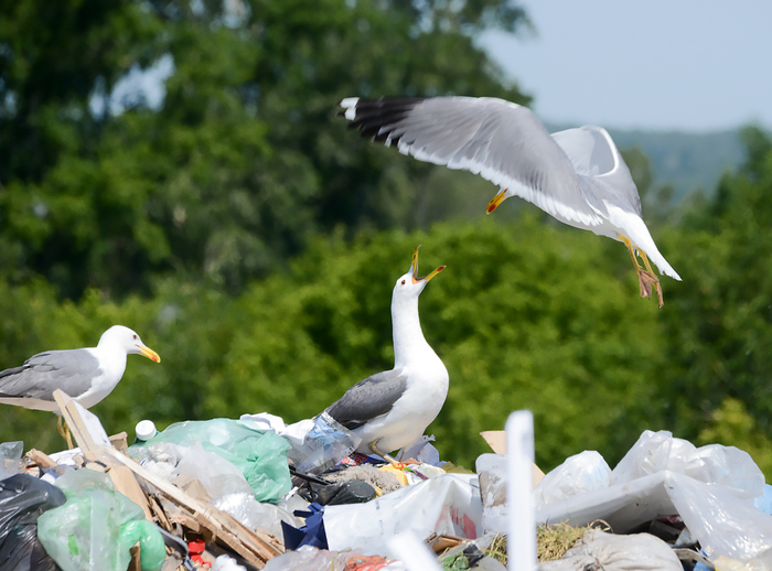 Чайки дерутся за мусор Мусор, Свалка, Тбо, Чайка, Птицы, Драка, Экология, Длиннопост