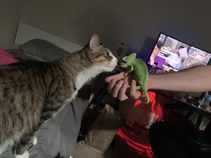 Знакомство кохи с новой соседкой. Хамелеон, Кот, Встреча, Животные, Беседа