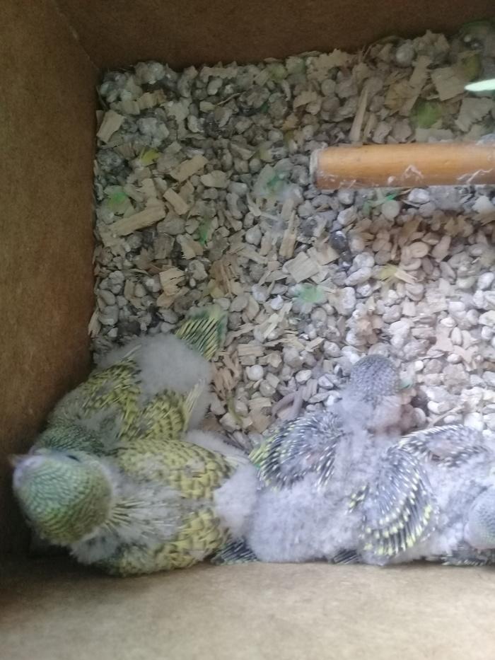 Наши волнистики) Волнистые попугаи, Размножение, Милота, Длиннопост