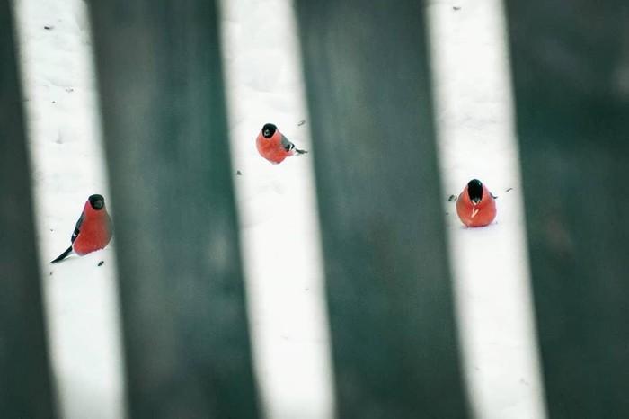 Снегири прилетели Снегири, Снег, Птицы, Фотография, Ракурс