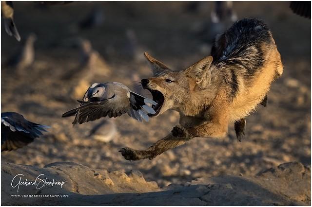 Ещё одна попытка Фотография, Животные, Африка, Шакалы, Птицы
