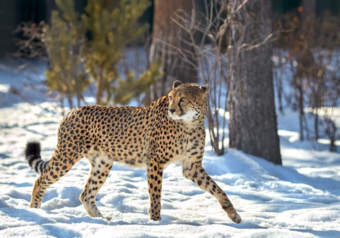 """Кошачья """"эпопея"""" продолжается Челябинский зоопарк, Челябинск, Животные, Гепард, Природа, Длиннопост, Фотография"""